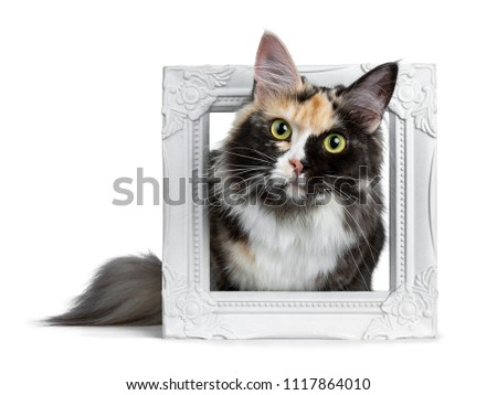 Beautiful black smoke tortie Maine Coon cat girl laying in white picture frame isolated on white background looking straight in lens
