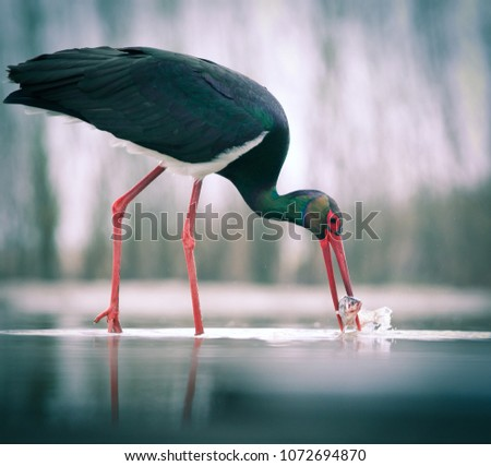 beautiful black stork fishing on a lake