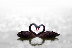 beautiful black swan in heart shape on white lake bokeh .Love bird concept