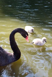 beautiful black swan with the nestlings