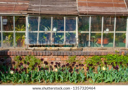 Beautiful black tulips with green leaves, blurred background in tulips field or in the garden on spring next to n old traditional greenhouse Foto stock ©