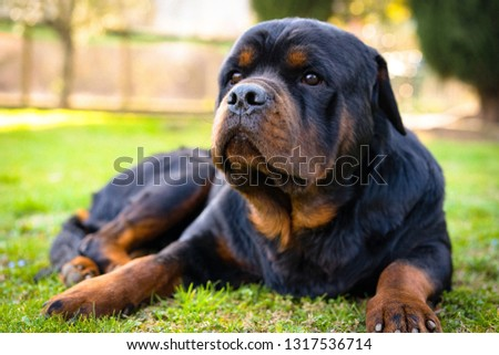 Beautiful black watchdog with faithful eyes laying outdoors and looking ahead. Rottweiler portrait in the garden