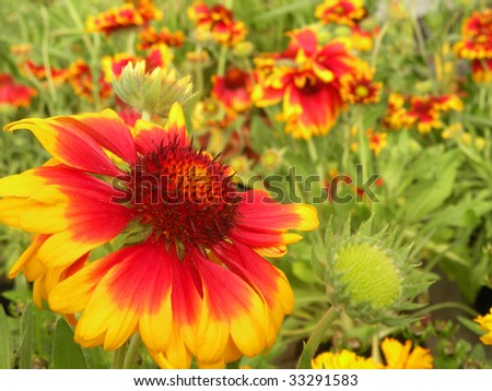 Beautiful Blanket flowers