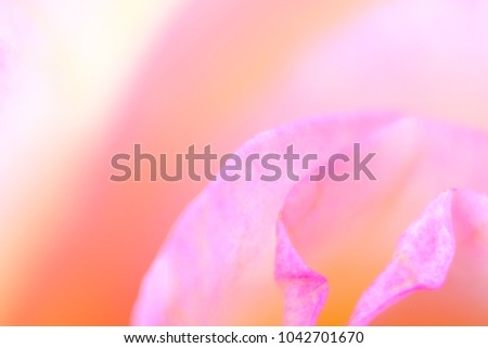 Beautiful bloom of multicolored rose flower macro detail - softness abstraction #1042701670