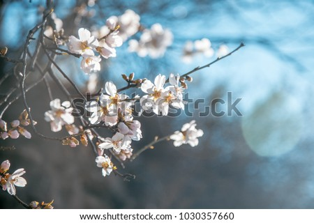 beautiful blooming almonds in soft focus, fresh delicate floral spring background - Shutterstock ID 1030357660
