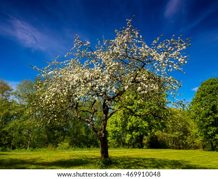Beautiful blooming apple tree in the park. - Shutterstock ID 469910048