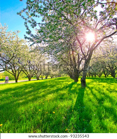 beautiful blooming apple trees in spring park