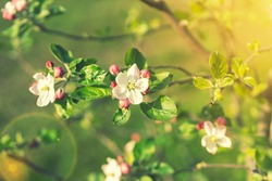 Beautiful blooming apple trees in spring park close up. Apple trees flowers. the seed-bearing part of a plant, consisting of reproductive organs. Blooming apple tree. Spring flowering of trees. toned.
