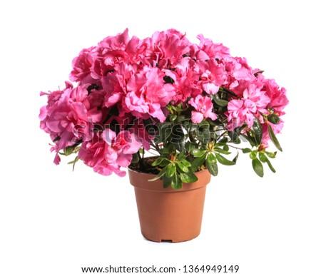Beautiful blooming azalea in pot on white background #1364949149