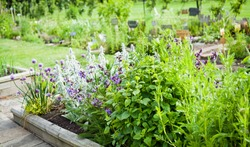 Beautiful blooming herbal garden with chives, lavender, rosemary, mint, catnip and many others. Herbal and Medicinal plants Garden.