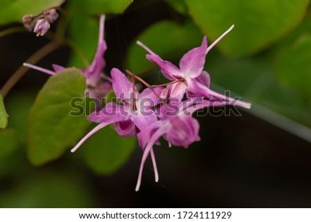 Beautiful blooming horny goat weed in May Stockfoto ©