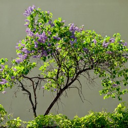 beautiful blooming lilac bush on a gray background on a sunny day