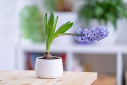 beautiful blooming lilac hyacinth in a white ceramic pot stands on a wooden table against the light blurred background of a cozy room. Spring mood. Women's holiday. Floral fragrance. Cozy house.