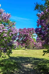 Beautiful blooming lilac tree in garden