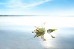Beautiful blooming lily flower on water surface. Nature healing power
