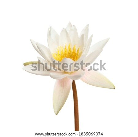 Beautiful blooming lotus flower isolated on white Foto stock ©