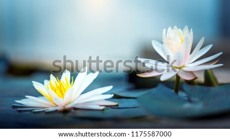 beautiful Blooming Lotus or  waterlily Flower in pond