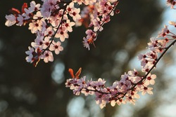 Beautiful Blooming Myrobalan Plum during Golden Hour in Nature. Pink Blossom of Cherry Plum in Garden. Flowering Tree during Spring.