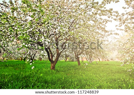 Beautiful blooming of decorative white apple and fruit trees over