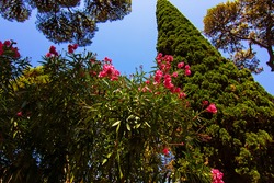 Beautiful blooming pink flowers and cypress tree in the ruins of Pompeii, Italy, Campania, Italy. Soft selective focus, long exposure. UNESCO World Heritage Site