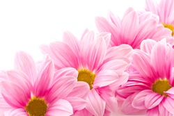 Beautiful blooming pink flowers on a white background