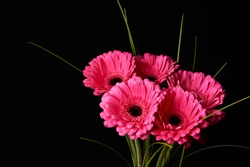 Beautiful blooming pink gerbera daisy flower on black background.