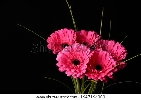 Beautiful blooming pink gerbera daisy flower on black background. Stockfoto ©