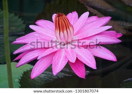 Beautiful blooming pink lotus taken from 45 degree  #1301807074