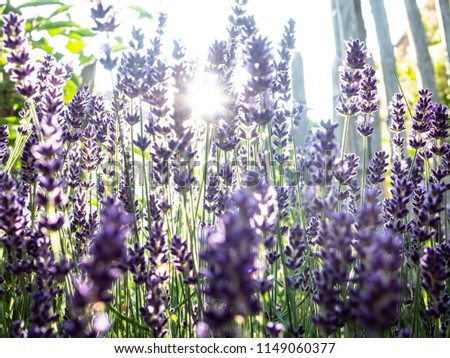 Beautiful blooming purple lavender blooms in a garden in the city with blue sky in the sun in summer. It nourishes bees with nectar and exudes an aromatic fragrance used for aromatherapy. #1149060377