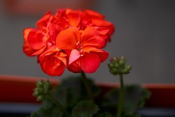 Beautiful blooming red pelargonium in the open yard. These flowers are the decoration of the garden. High quality photo