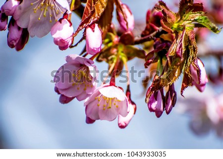 Stock Photo Beautiful blooming Sakura. Cherry blossom. In Japan, the sakura symbolizes the clouds (due to the fact that many cherry blossoms often blossom at once)