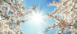 Beautiful blooming spring blurred nature background. Branches of blossoming tree with soft focus on gentle light blue sky background and shining sun, frame.