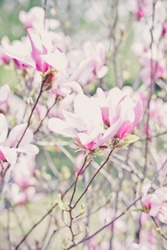Beautiful blooming tree of pink magnolia, closeup of flourishing branch, symbol of spring. Floral petal natural background for wallpaper, postcard. Delicate blossom. Selective focus.