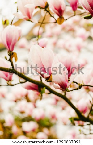 Beautiful blooming tree of pink magnolia, closeup of flourishing branch, symbol of spring. Floral petal natural background for wallpaper, postcard. Delicate blossom. Selective focus. Vertical photo.