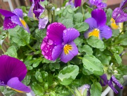 Beautiful blooming viola cornuta purple yellow spring flowers with water rain drops directly above view, horned violet flowers