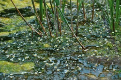 Beautiful blooming water buttercups in the river with reeds. Sunlit small crowfoot flowers in the pond with green leaves and canes. Floating flower carpet in the water.