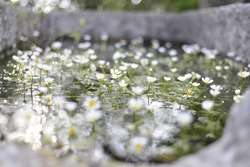 Beautiful blooming water buttercups with reeds in the river water, small crowfoot flowers in the pond with green leaves and canes. Floating flower carpet in the water.