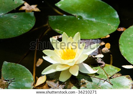 Beautiful blooming water lily in pond