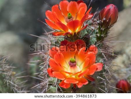 Beautiful blooming wild desert cactus flower