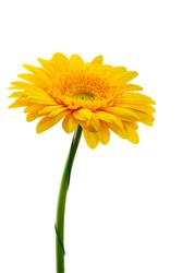 Beautiful blooming yellow gerbera flower isolated on white background