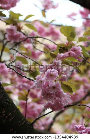 Beautiful blooms of the Kanzan Double Cherry tree blooming out of fork shaped branches with a multitude of blossoms in the background. #1354404989
