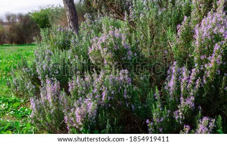 Beautiful blossom of a rosemary bush  Stock photo ©