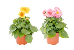 Beautiful blossom pink and yellow dahlia flower with green leaves in brown pot, type David Howards a genusidea plant for summer garden with isolated white background and clipping path.
