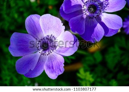 Beautiful blossom purple anemone flowers, selective focus