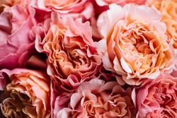 Beautiful blossoming pink curly roses texture, close up view