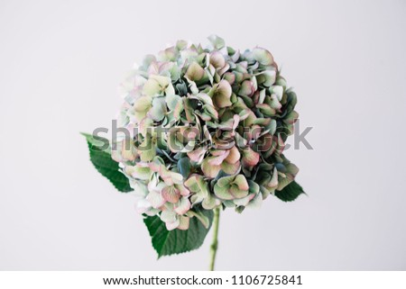 Beautiful blossoming single antique blue hydrangea flower on the grey wall background, close up view