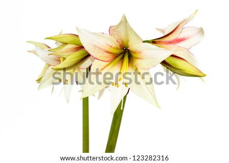 Beautiful blossoms of white Amaryllis flower isolated on white background