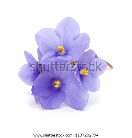 beautiful blue african violet isolated on white background #1137202994