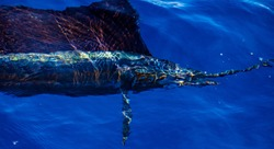 Beautiful blue and golden brown colors of an Atlantic Sailfish coming through the water in this picture taken off of Jupiter, Florida.