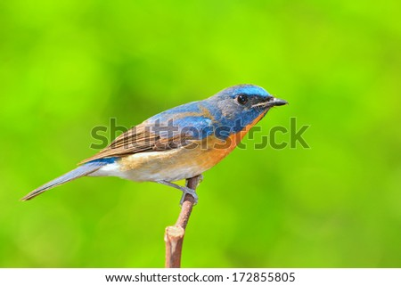 beautiful blue bird, Chinese Blue Flycatcher bird (Cyornis glaucicomans) perching on a branch